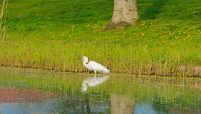 White heron catches a fish in a river Stock Images