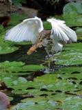 White heron catching fish Royalty Free Stock Image
