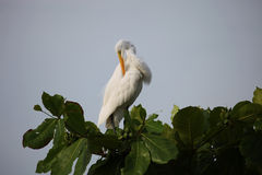 White Heron cleans beak feathers on the tree in Costa Rica Royalty Free Stock Photo