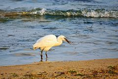 White heron clutching fish in its beak on the beach. Beautiful white heron with a broken leg grabbing a small fish in the sea by the shore,Varna Black Sea Coast Stock Photo