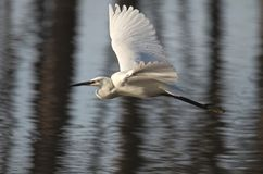 White heron or common egret flying. It is a slender and medium-sized heron with completely white plumage stock photos