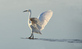 White heron counter light at sunrise Royalty Free Stock Photos