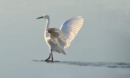 White heron counter light at sunrise Royalty Free Stock Photos