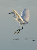 White heron dancer Stock Images