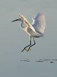 White heron dancer Stock Images