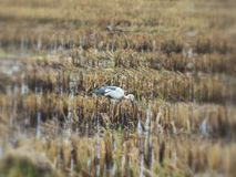 A white Heron in the dried field Stock Image