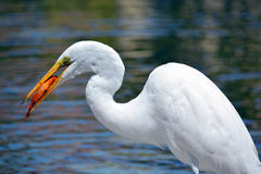 White heron eating koi fish Stock Photography