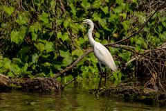White Heron Egret Ardea Alba witting on a bench in the Danube stock photos