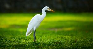 White heron-Egretta garzetta Stock Photo