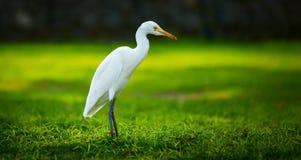 White heron-Egretta garzetta Stock Photo