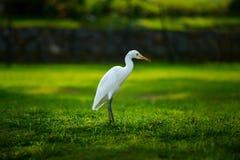 White heron-Egretta garzetta on the green meadow Stock Image