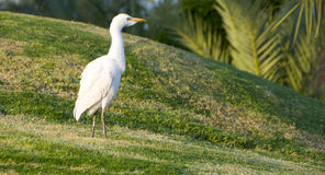 White heron in the field Royalty Free Stock Image