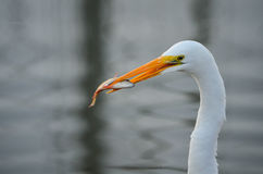 White Heron with a Fish. In Palacios, Texas royalty free stock photo