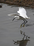 White heron fishing Royalty Free Stock Photo