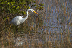 White Heron Fishing for Dinner. White heron wades along the shoreline of a grassy marsh looking for fish or other prey to eat royalty free stock photos