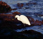 White heron fishing Stock Photos