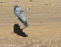 White heron in flight. A white heron casts a shadow as it flies along the beach Stock Photography