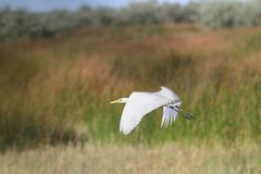White heron in flight Stock Photography