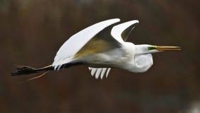 White Heron in Flight. Great White Heron in flight Stock Photo