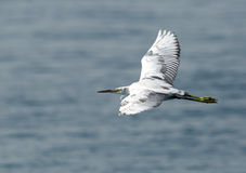 A White heron in flight Royalty Free Stock Photography