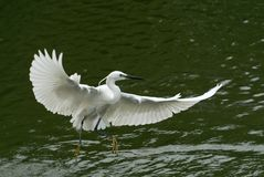 The egret flying on the river, in dark green background stock image