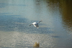 White heron flips its wings over a lake. While other birds approach in the background Stock Images