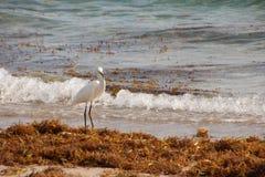 White Heron on Florida Beach Royalty Free Stock Image