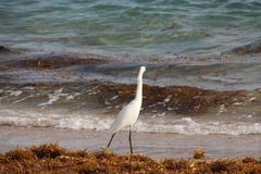White Heron on Florida Beach royalty free stock photography