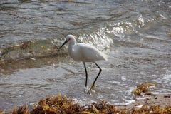 White Heron on Florida Beach Stock Image
