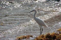 White Heron on Florida Beach Stock Images