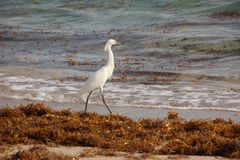 White Heron on Florida Beach Royalty Free Stock Photos