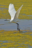 White heron flying. On the marsh surface Stock Photos