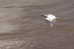White heron flying above water Royalty Free Stock Photo