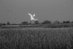 White heron flying monochrome Stock Image
