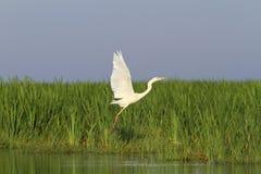 White heron flying over marsh Stock Photo