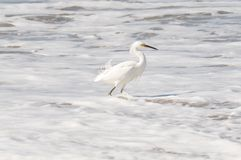 White Heron in Frothy Surf Royalty Free Stock Image