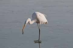 White heron on the frozen lake with fish Stock Photography