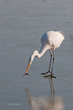 White heron on the frozen lake with fish Royalty Free Stock Photo