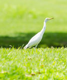 A White Heron in the garden. A White Heron in the garden in the morning Royalty Free Stock Photos