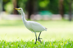 A White Heron in the garden. A White Heron in the garden in the morning Royalty Free Stock Images
