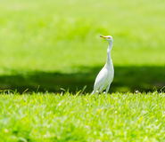 A White Heron in the garden. A White Heron in the garden in the morning Stock Image