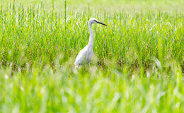 A White Heron in the garden. A White Heron in the garden in the morning Stock Photo