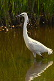White heron garzetta. Walking in the marsh Royalty Free Stock Photography