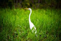 White Heron in Grass Stock Photo