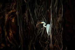 White heron, Great Egret, Egretta alba, in dark black root shore habitat, Ranthambore, India, Asia. Water bird with orange bill in Stock Image