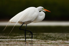 White heron, Great Egret, Egretta alba, standing in the water in the march. Beach in Florida, USA. Water bird with orange bill in Stock Photography