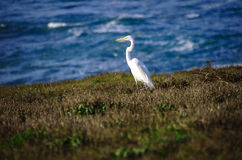 White Heron at Seaside Royalty Free Stock Images