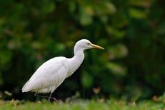 White heron in green vegetation, Bundala National Park, Sri Lanka, Asia. Cattle egret, Bubulcus ibis, in nature flower habitat. Asia Stock Images