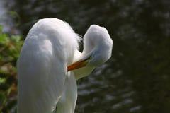 White heron grooming. White Heron at Gatorland, Florida Stock Photography