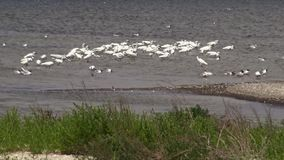 White heron, gulls and pelicans in a large flock of birds on Lake Sasyk. stock video footage